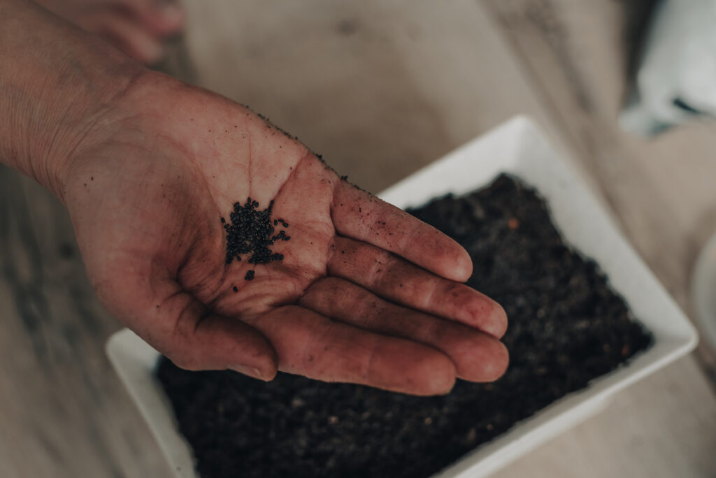 Basil Seeds in a Woman's Hand. Growing basil from seed at home is fairly easy, and a good way to get a variety of different basil plants