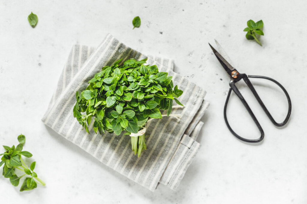 Bunch of fresh Greek Basil on a white kitchen table with pruning scissors.