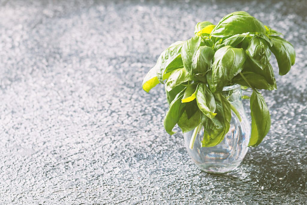 Stems of fresh basil after pruning in a glass of water. Pruning basil encourages more basil to grow, and pruned stems can be used to grow new plants