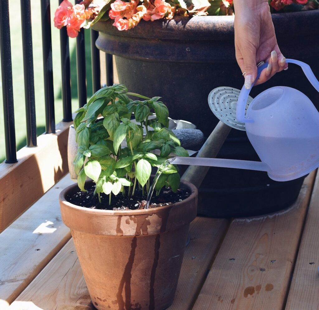 how often to water basil