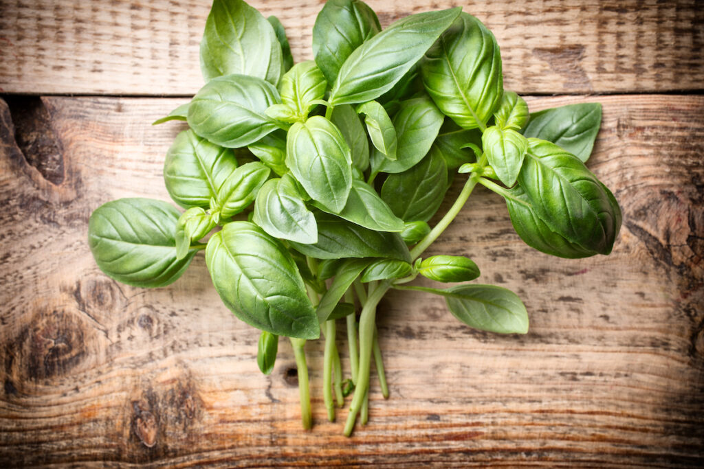 Bunch healthy fresh basil on a wooden background. Brown spots on basil can be a sign of an infection, and shouldn't be eaten.
