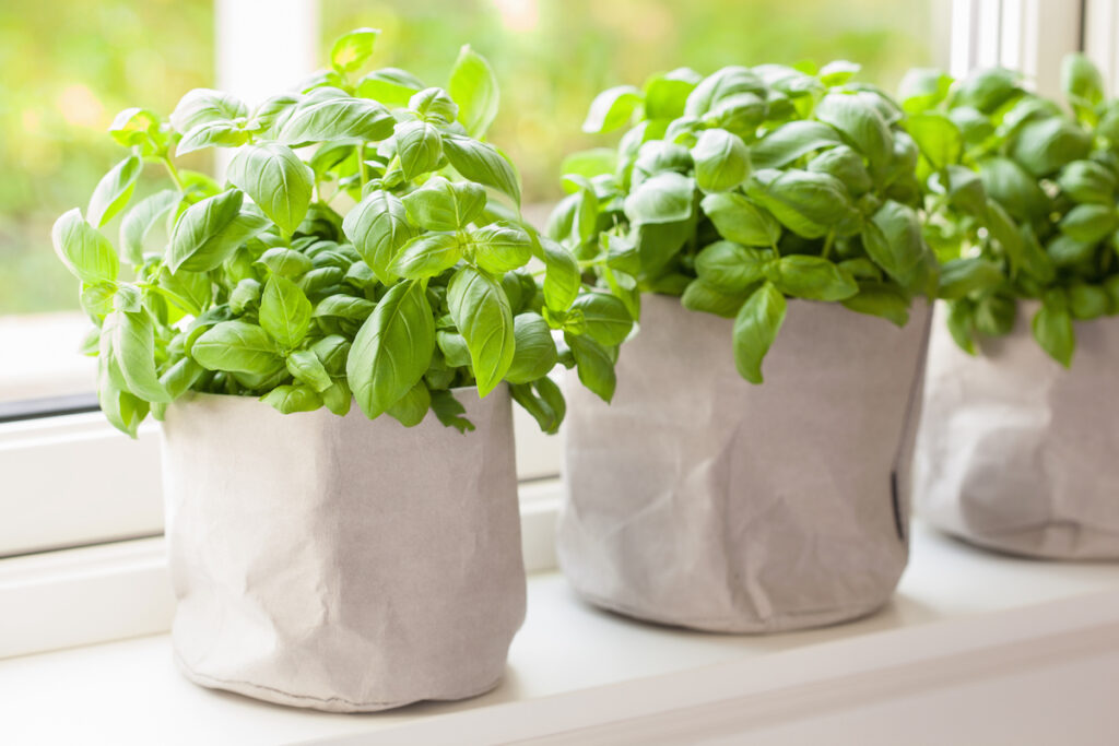 fresh basil plants in paper bag pots on a windowsill. If you are going to propagate basil from cuttings, you need to start with a healthy basil plant. This image accompanies an article about how to propagate basil from cuttings